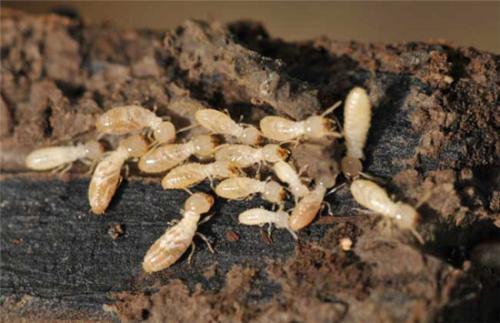 白蚁侵袭带来的损失是巨大的 而且遗憾的是 许多房主没有发现问题