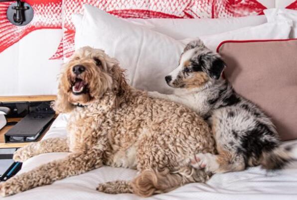 为什么宠物友好酒店在澳大利亚变得越来越普遍